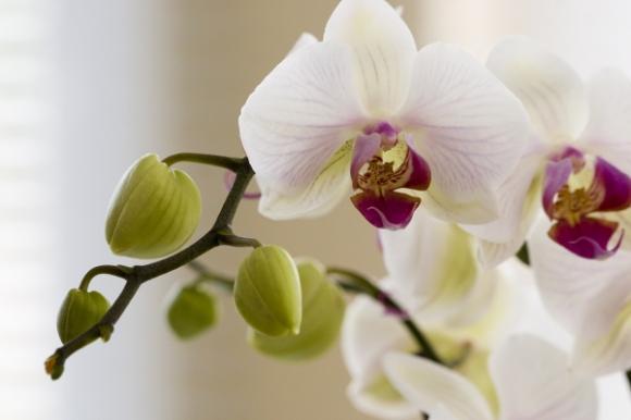 http://abricot-sponge.cowblog.fr/images/images3/orchidee18.jpg